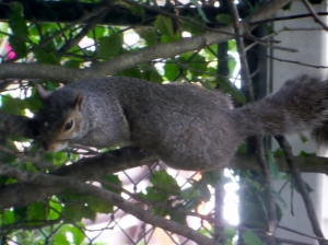 Squirrel in holly tree watching me write