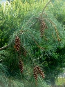 pine maturing from living room window 2
