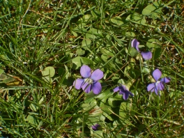 group of violets
