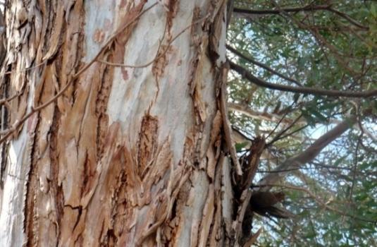 australian willow